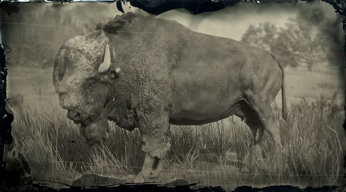 Black and white image of a black bison