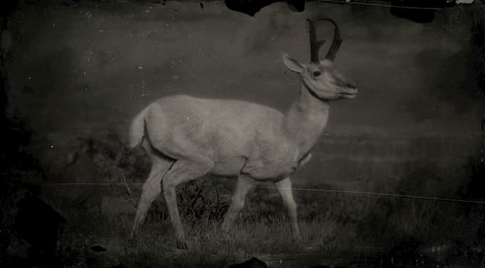 Black and white image of a white pronghorn buck.