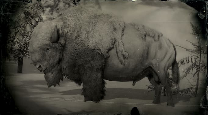 Black and white image of a white bison bull