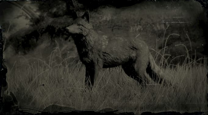 Black and white image of a dark coyote.