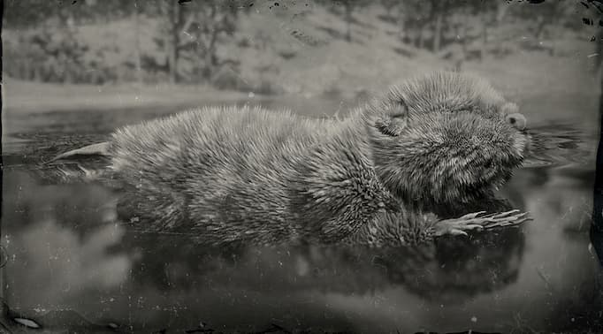 Black and white image of a beaver in the water