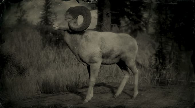 Black and white image of a big horn ram.